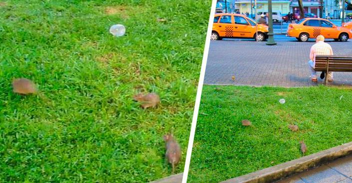 Em Curitiba, ratos infestam Praça Tiradentes