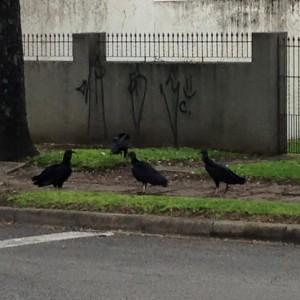 Urubus invadem bairros de Curitiba