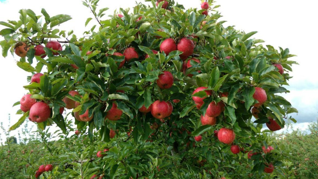 Boca Maldita: Palmas vai colher 12 mil toneladas de maçã