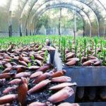 Venda do pinhão só é permitida a partir de 1º de abril